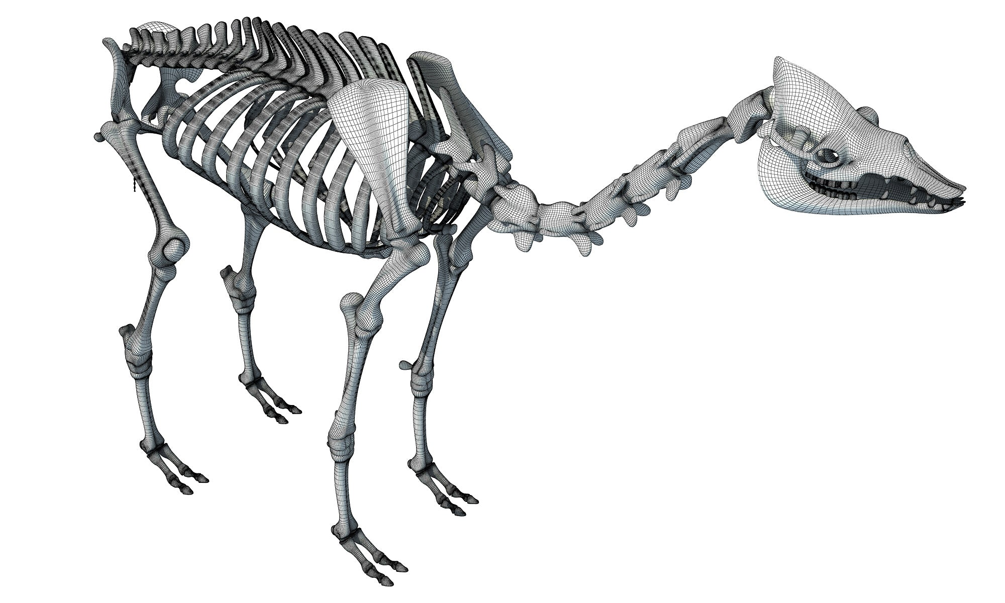 Camel Skeleton Dromedary 3D Model