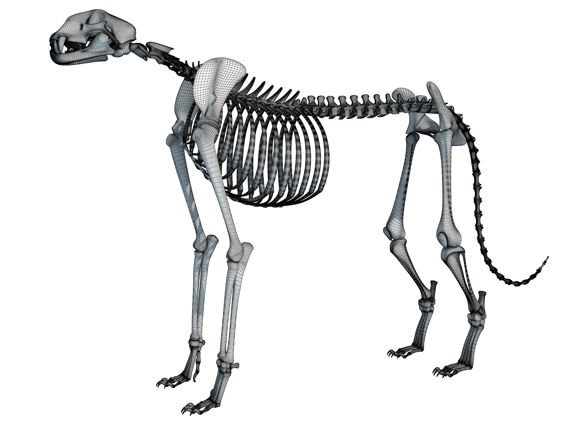 Cheetah Skeleton 3D Models