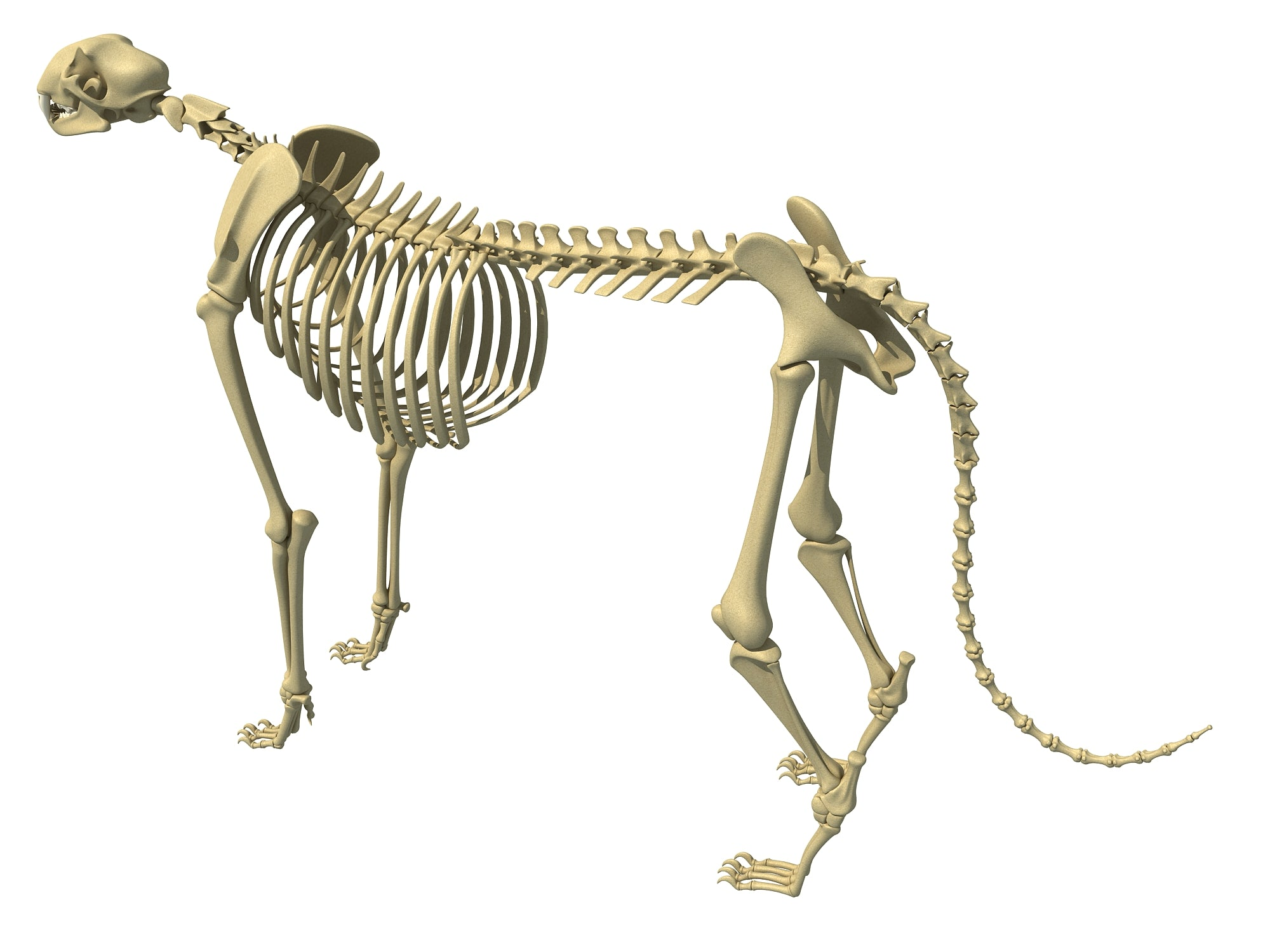 Cheetah Skeleton