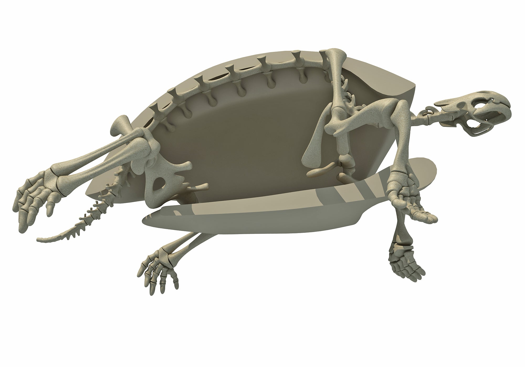 Tortoise Skeleton 3D Model
