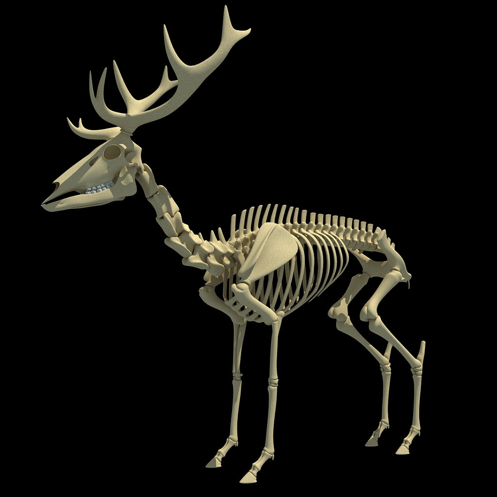 Deer Skeleton