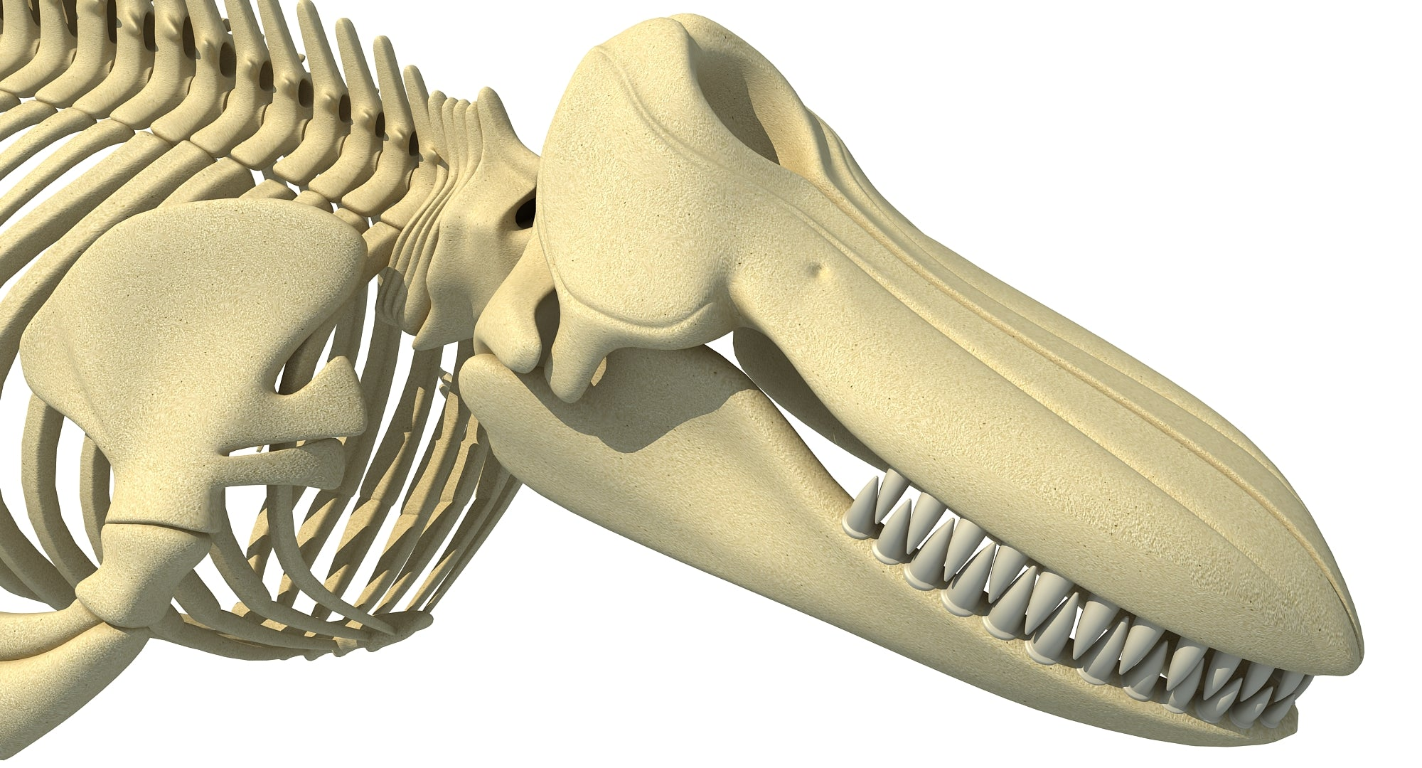 Killer Whale 3D Skeleton
