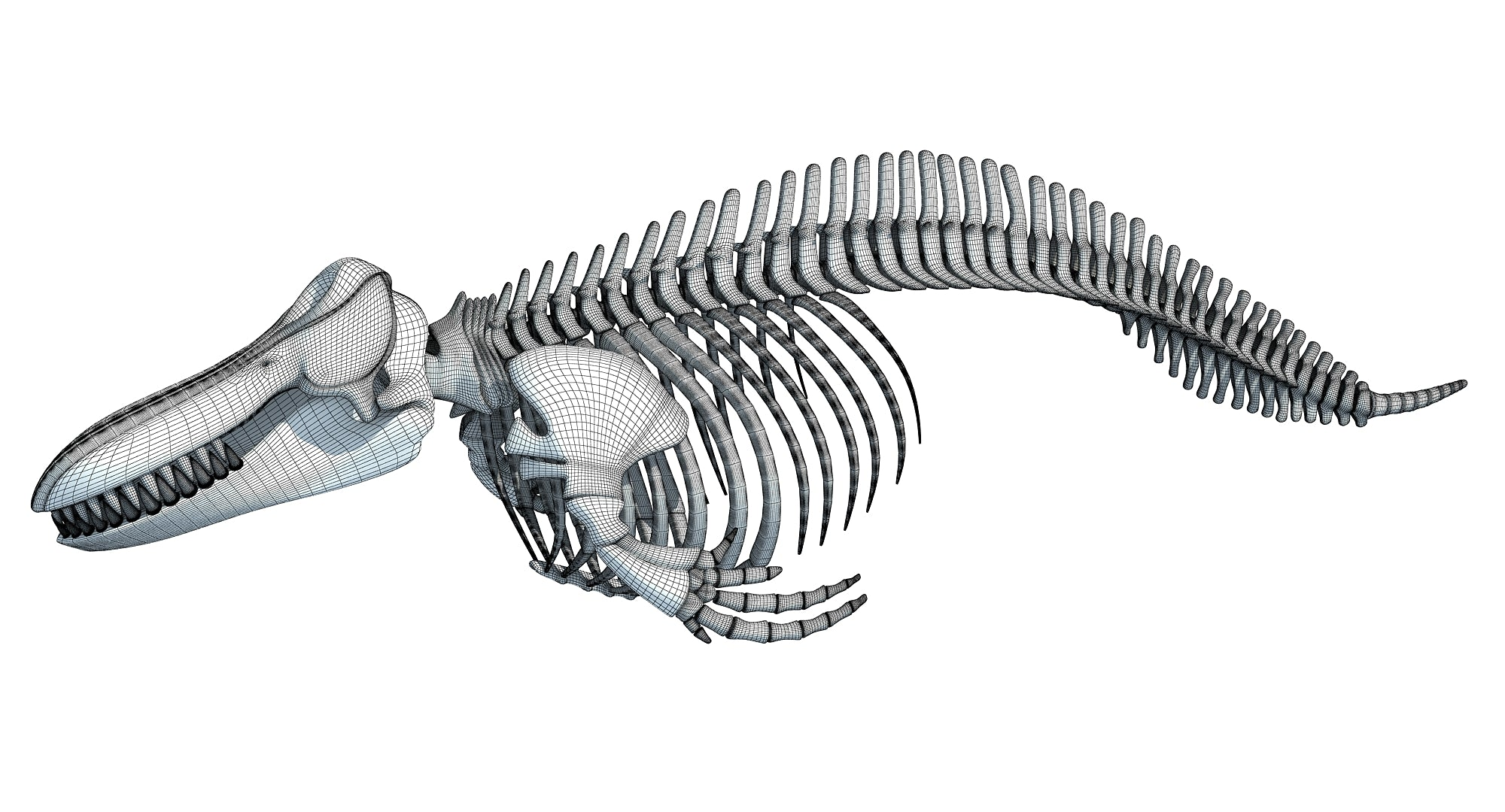 Killer Whale Orca Skeleton