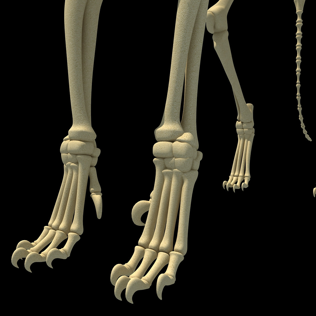 Lion Skeleton 3D Model