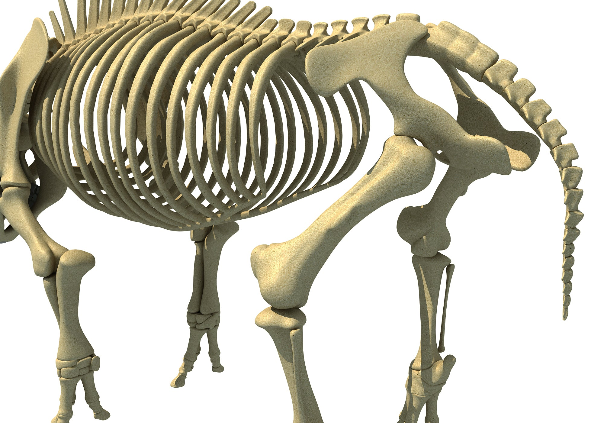 Rhino Rhinoceros Skeleton