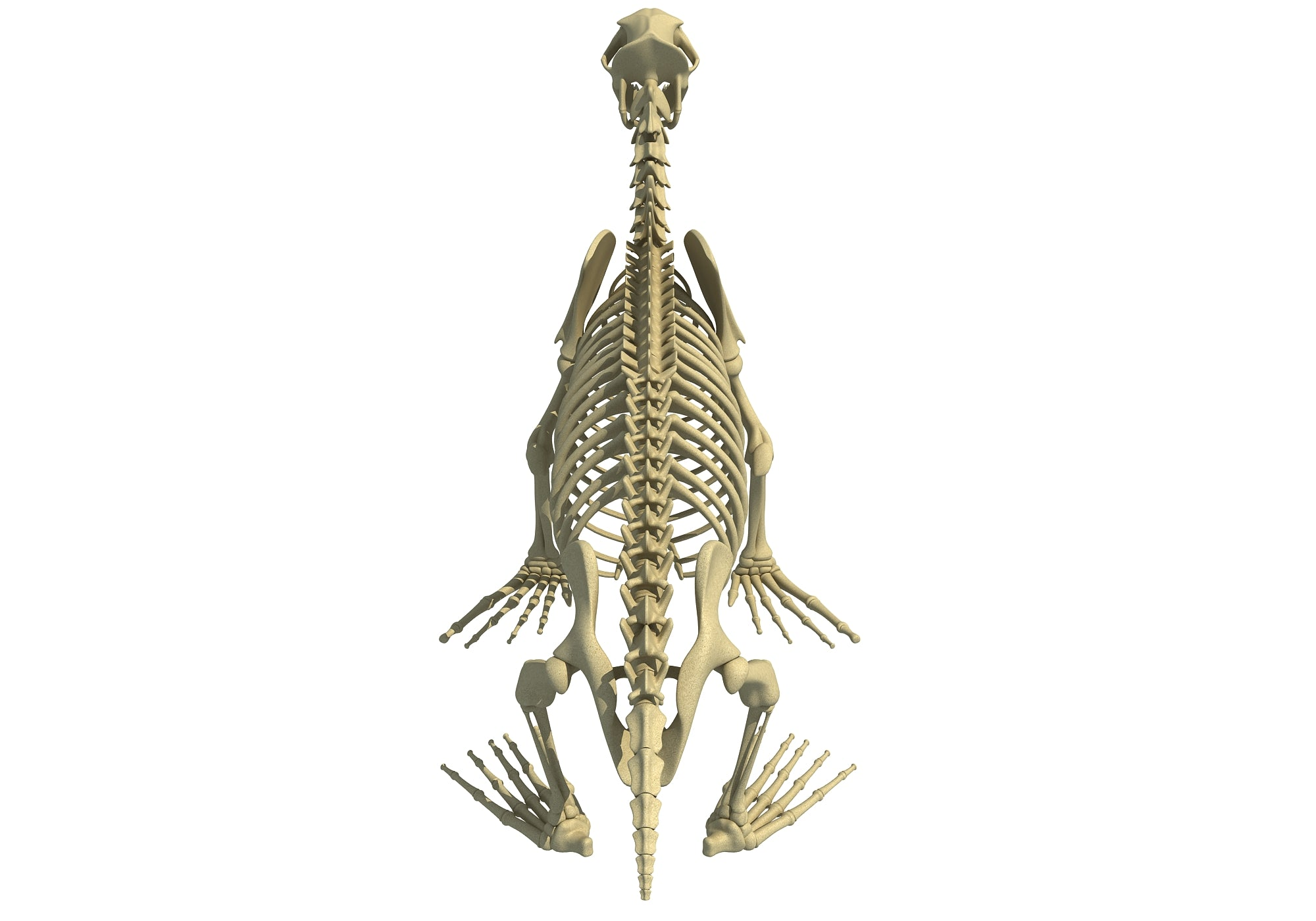 Sea Lion Skeleton