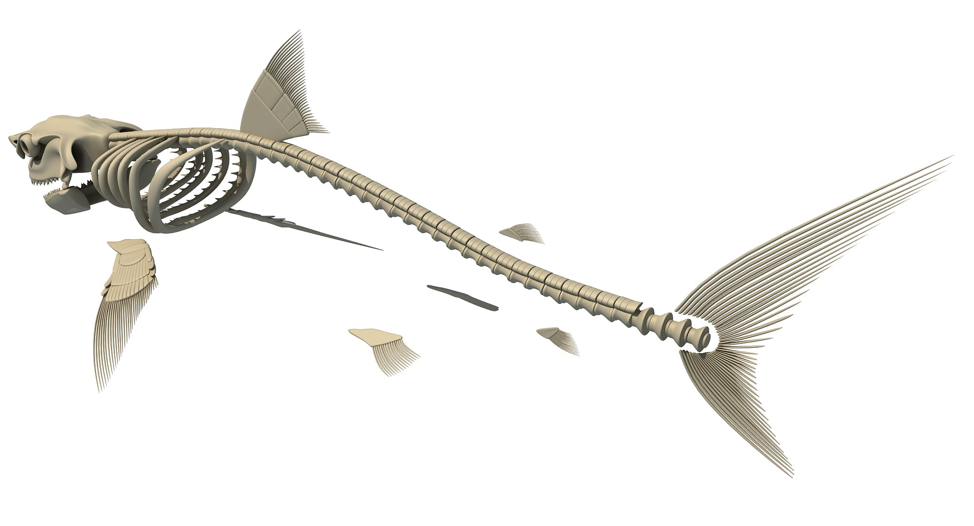 White Shark Skeleton 3D Model