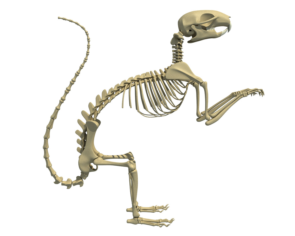 Squirrel Skeleton 3D Model