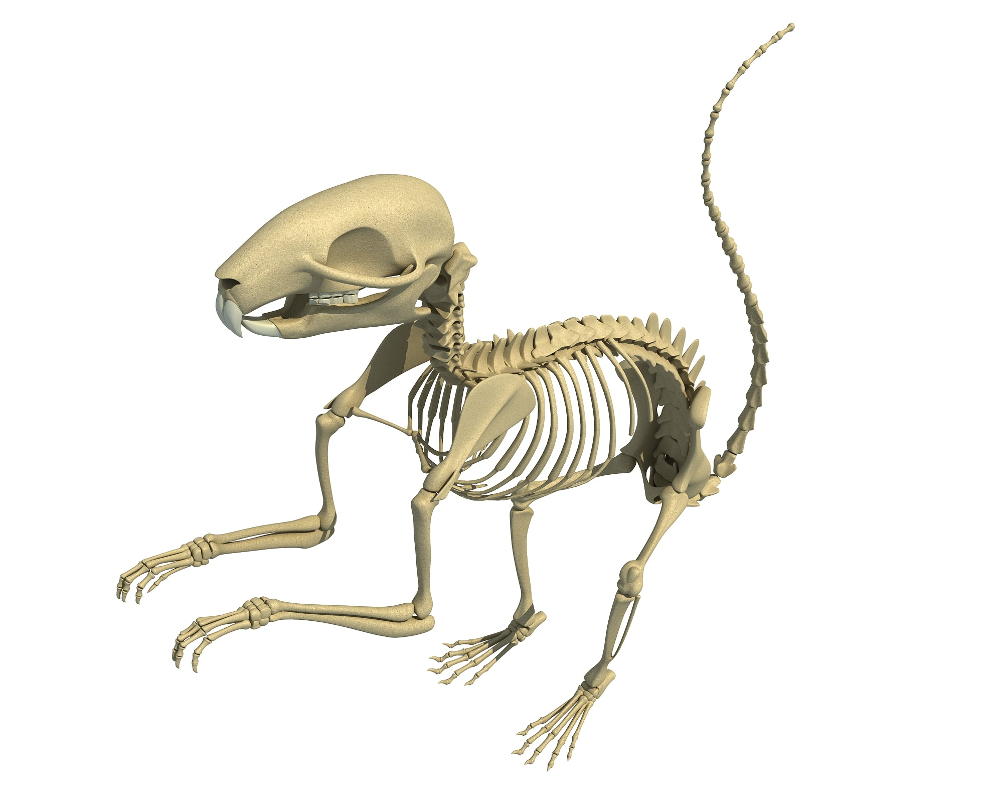Squirrel Skeleton