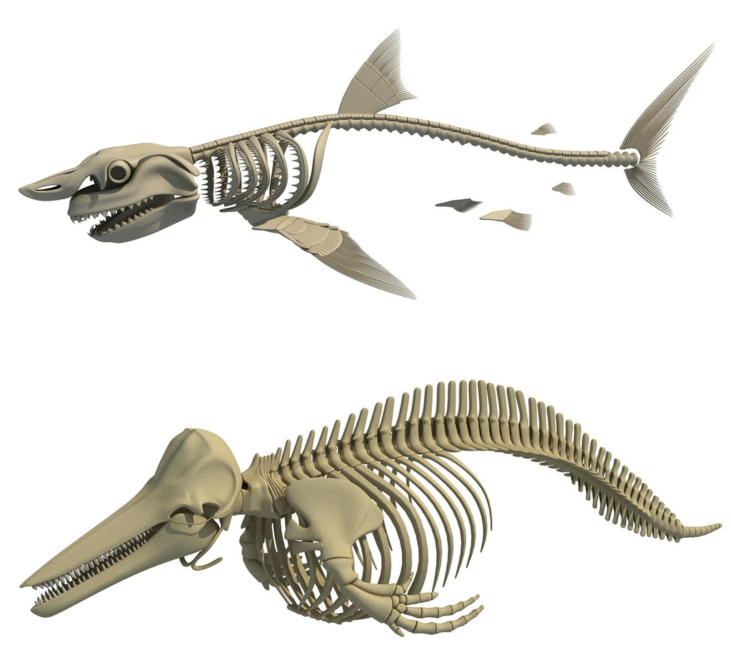 White Shark and Dolphin Skeletons