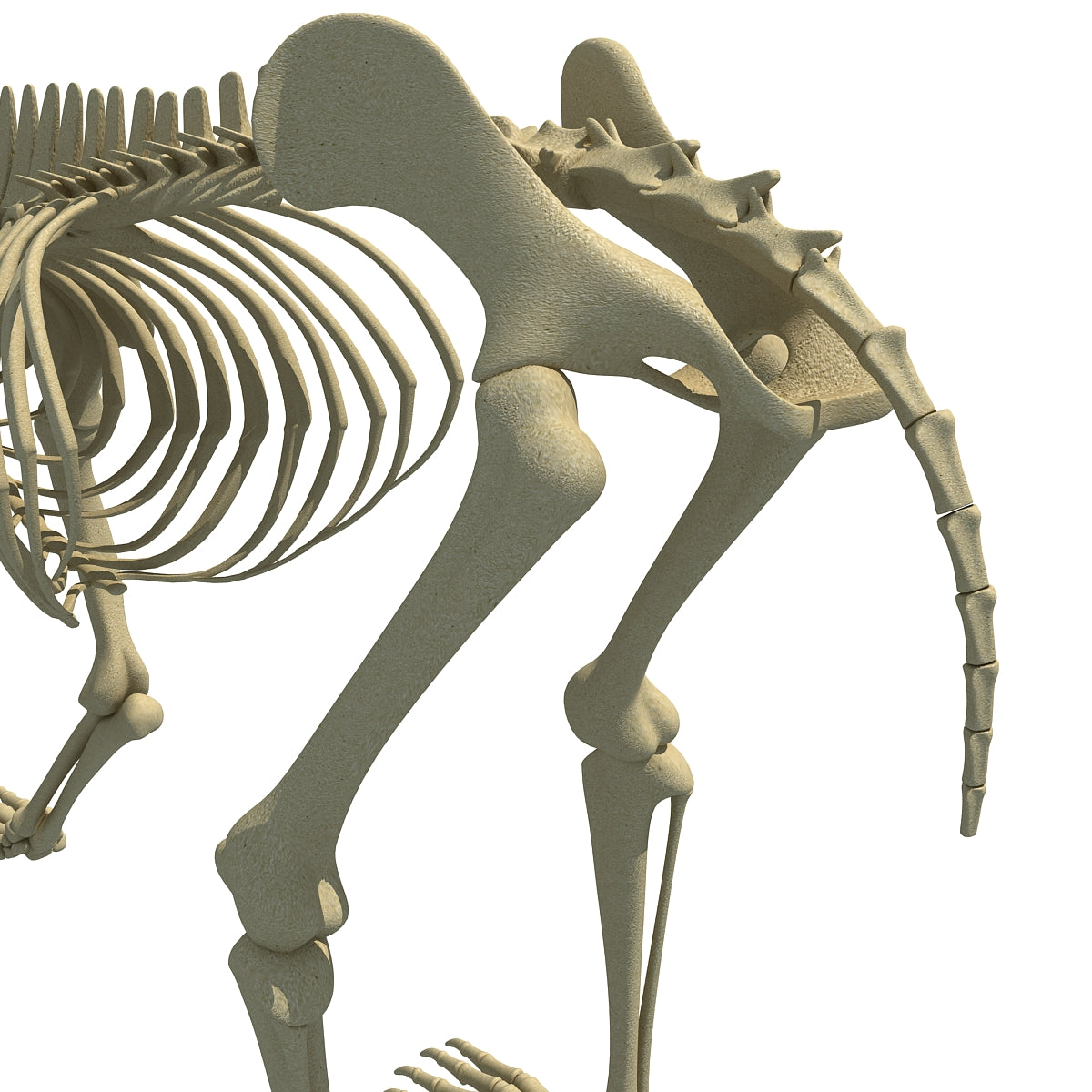 Bear Skeleton