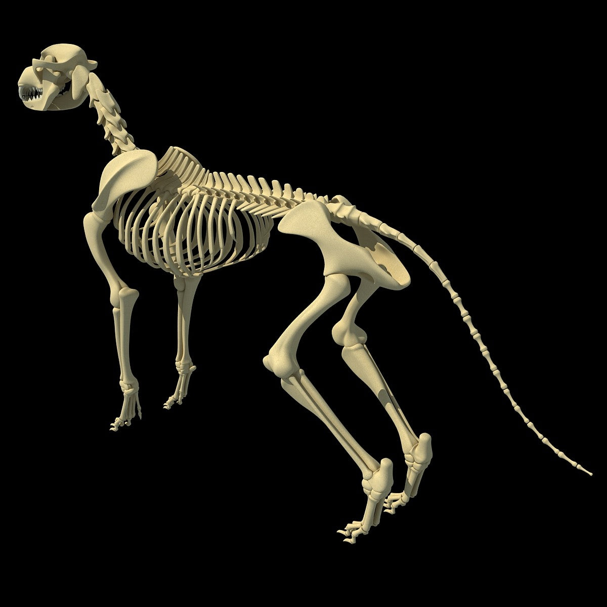 Dog Skeleton 3D Model