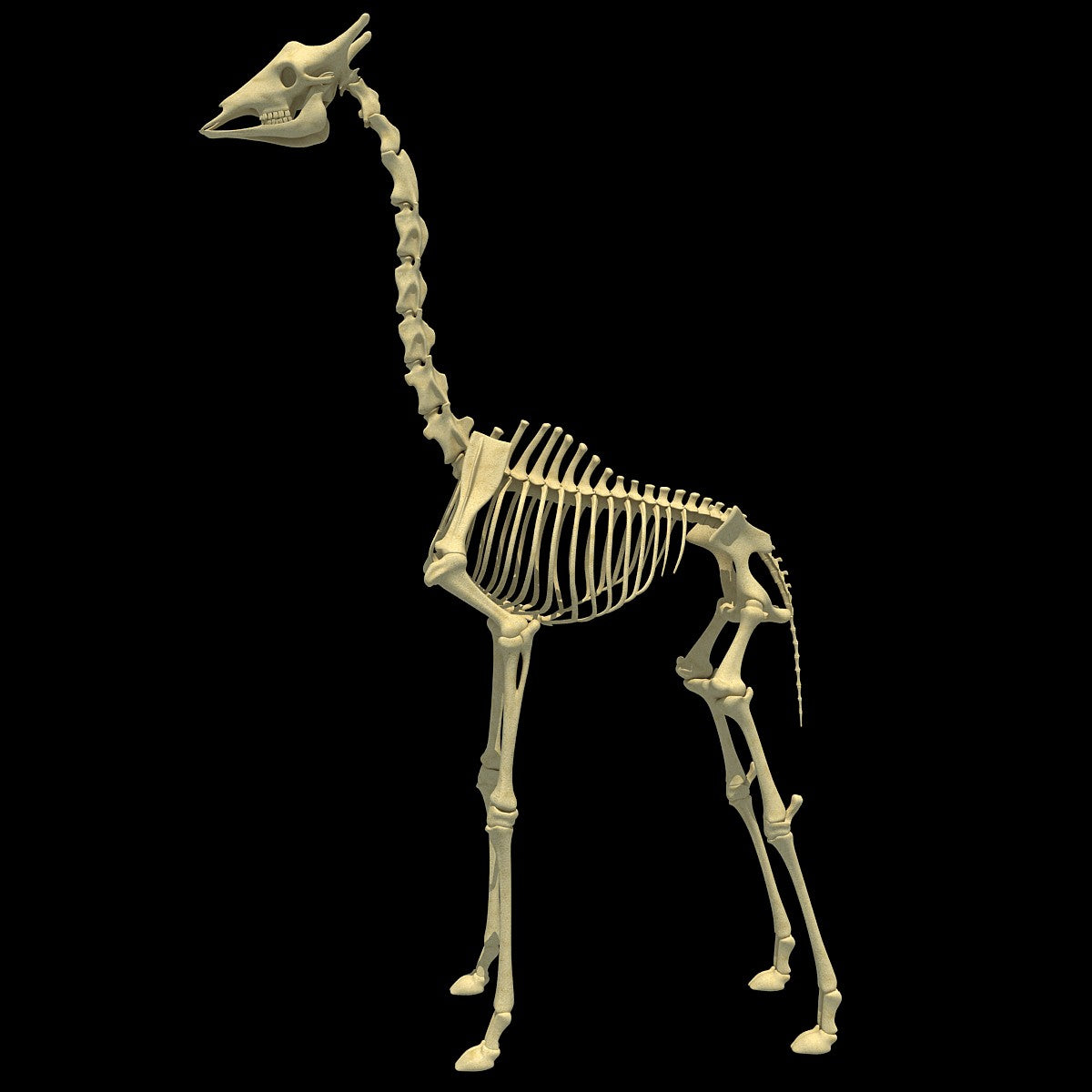 Giraffe Skeleton - Animal Skeletons