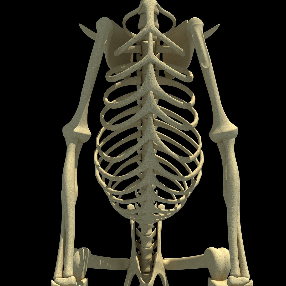 Kangaroo Skeleton Model