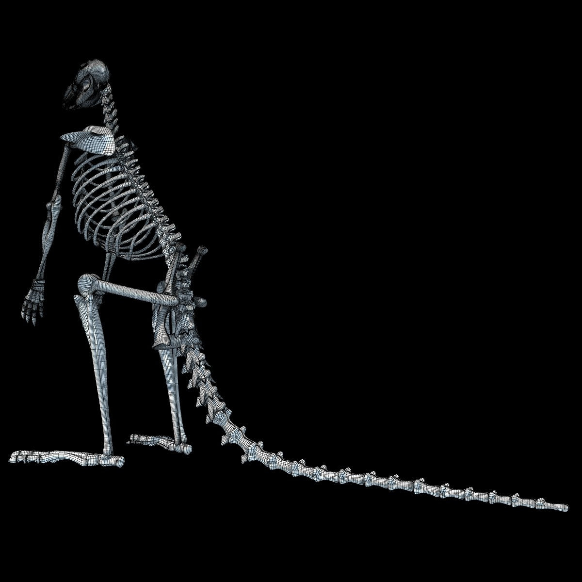 Kangaroo Skeleton