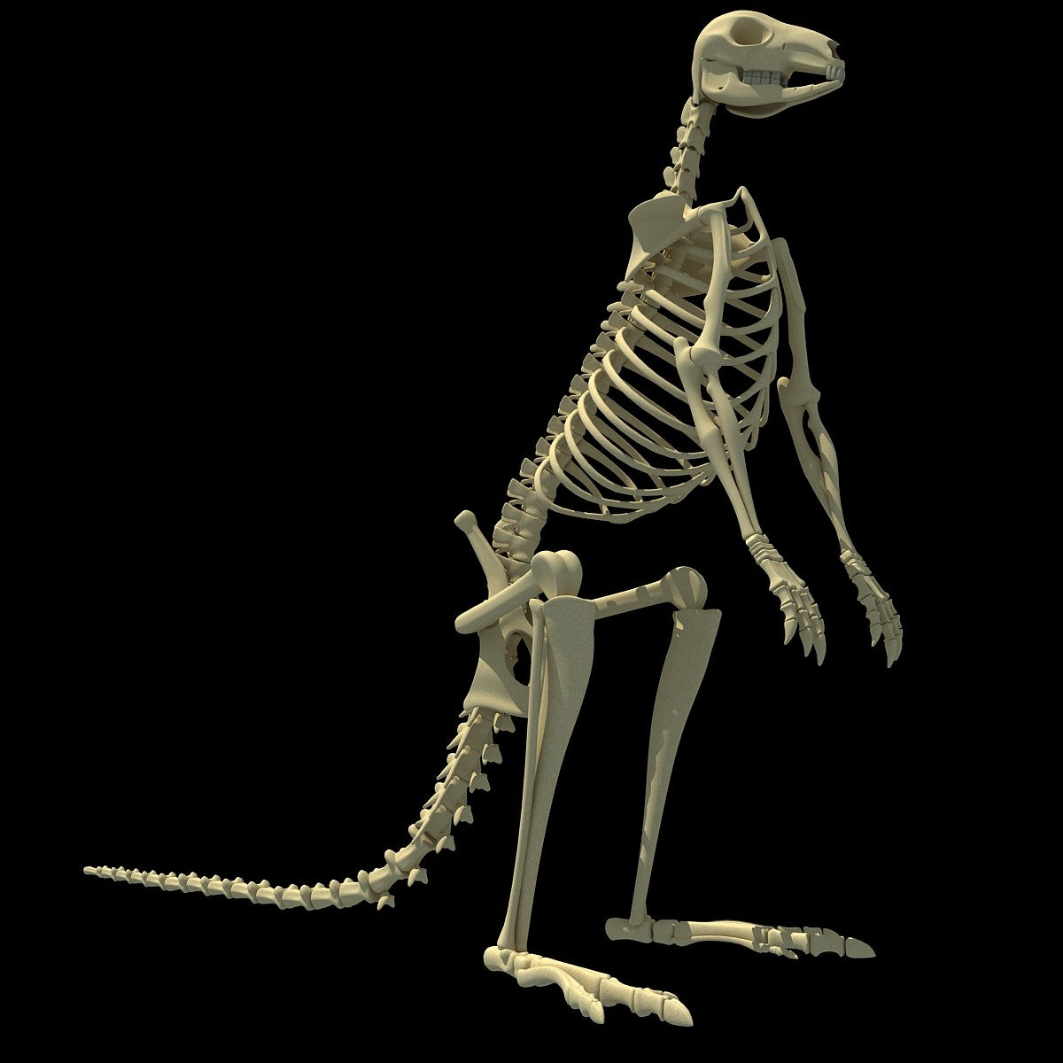 Kangaroo Skeleton 3D Model