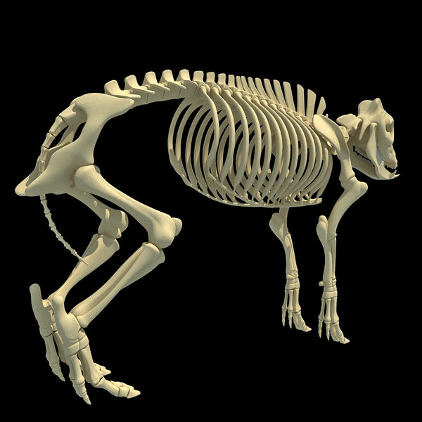 Pig Skeleton 3d Model 3d - Www madreview net