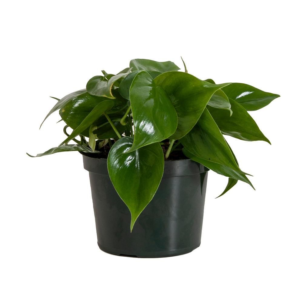 Heart leaf Philodendron, Assorted
