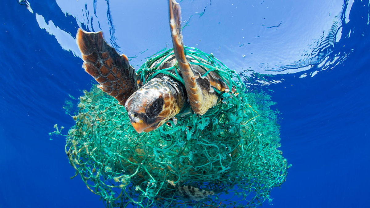 Entangled Sea Turtle in plastic