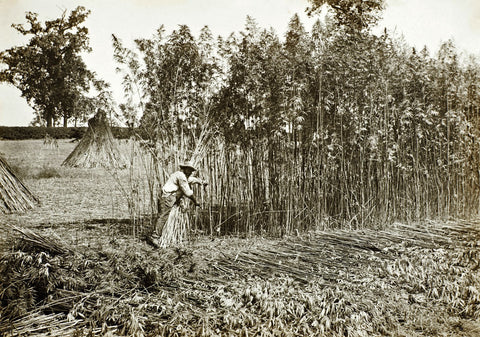 Industrial hemp history photo