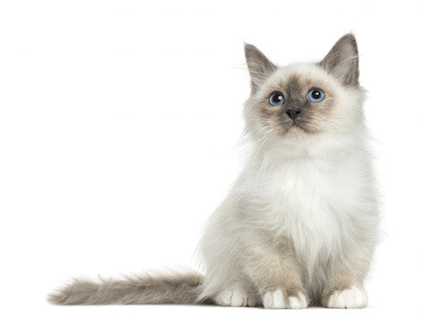 Birman Cat Care DVD