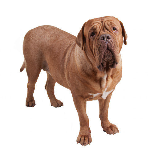 Dogue De Bordeaux DVD