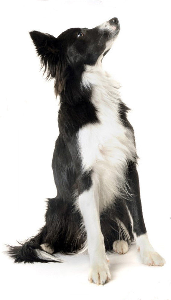 Border Collie DVD