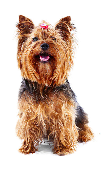 Yorkshire Terrier DVD