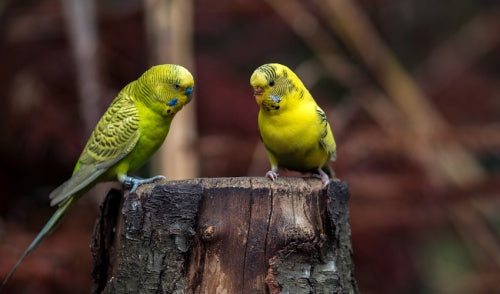 Common Pet Bird Diseases and Solutions