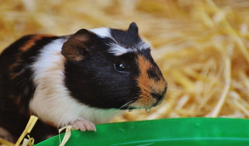 Exercise Ideas for Guinea Pigs