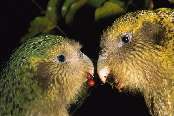 Kakapo; on the road to recovery