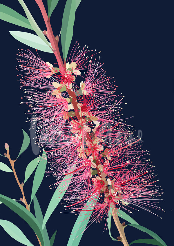 Bottlebrush Limited Edition Print