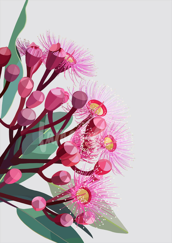Flowering gum on grey background Limited Edition Print