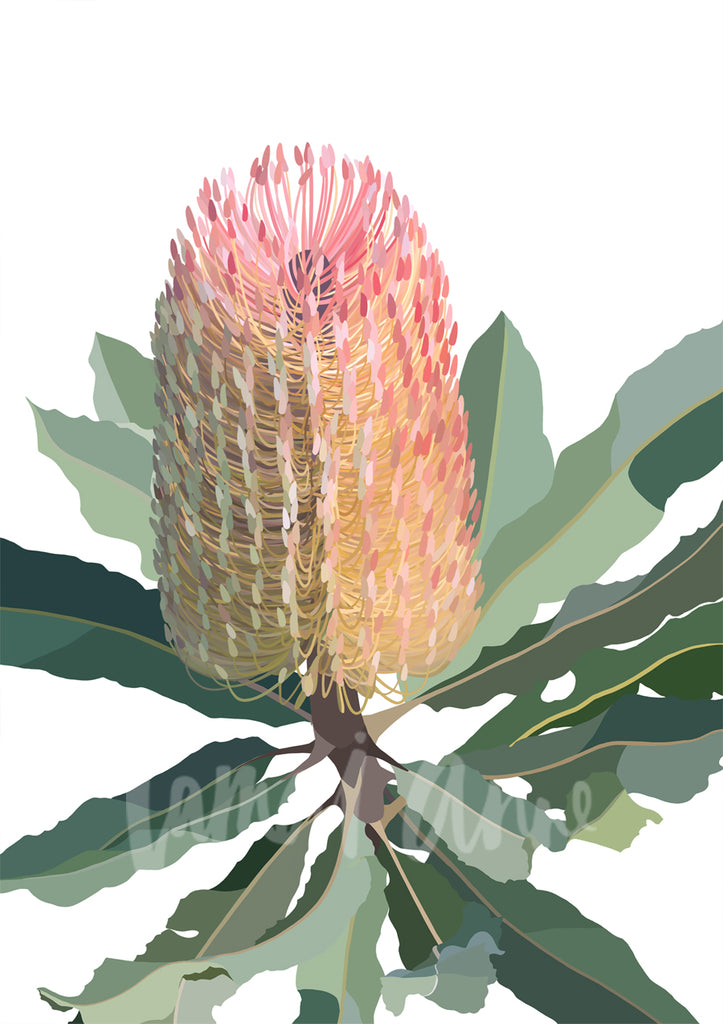 Banksia on white background Limited Edition Print