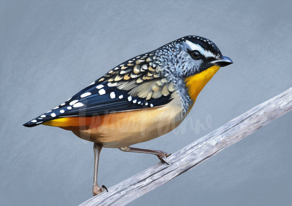 Spotted Pardalote Limited Edition Print
