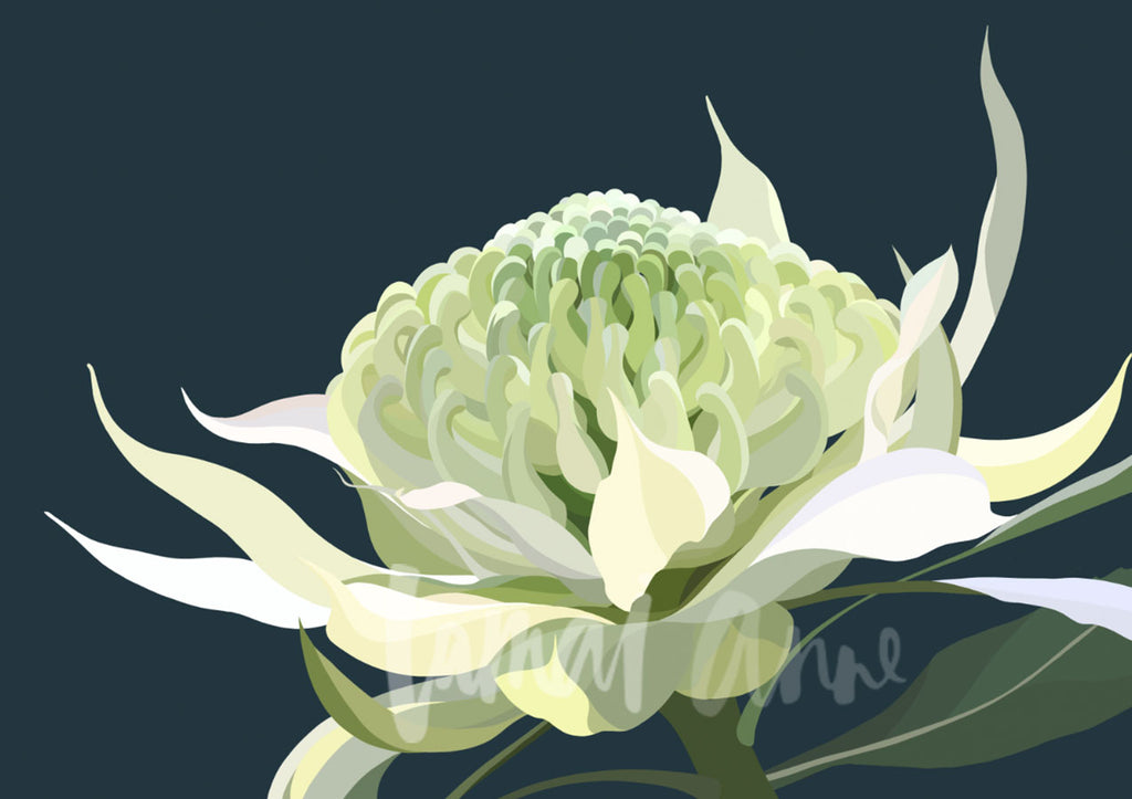 White Waratah Limited Edition Print