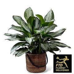 bedroom plants chinese evergreen sleep healthy household safe plants