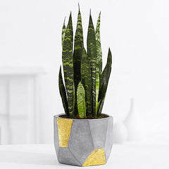 bedroom plant snake plant proflowers better sleep plants healthy houseplant