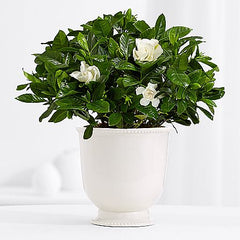 bedroom plants gardenia household plants sleep better healthy plants home
