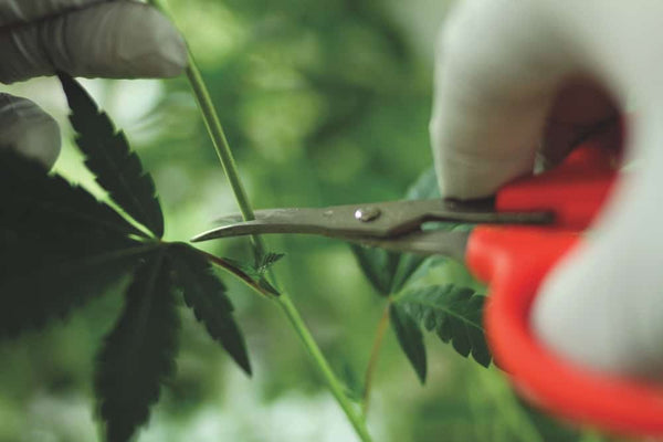 The Art of Cannabis Cloning