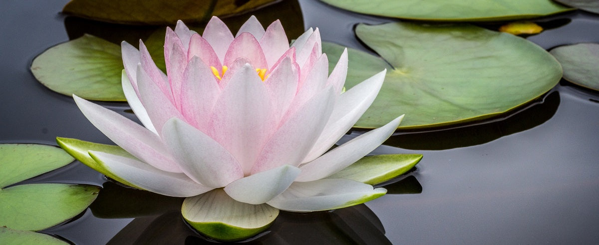 White Lotus Essential Oil