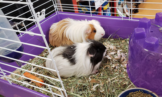 Laverne & Shirley the Guinea Pigs