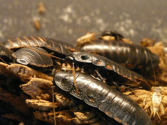 Feeder Insect: The Dubia Roach