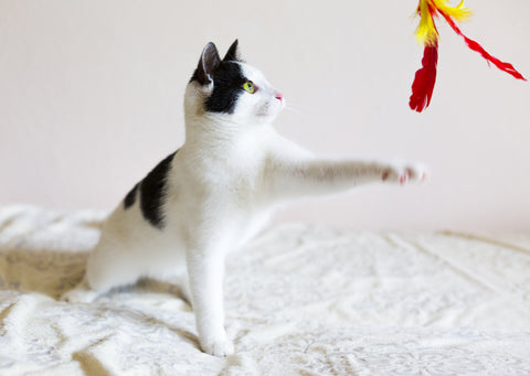 A calico cat playing with a red feather toy