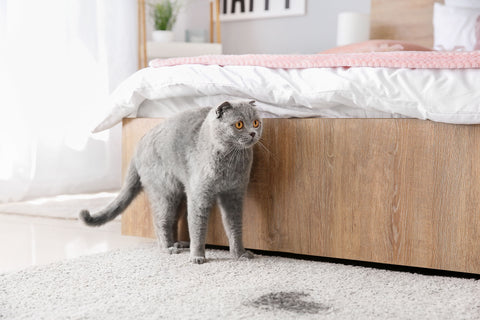 Cat looking at urine stain on carpet