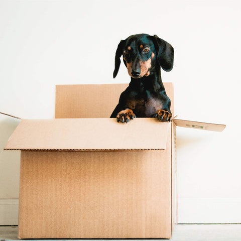 A daschund standing up in a cardboard box