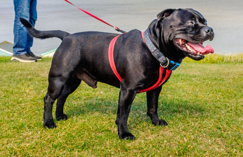 A black dog with a red harness