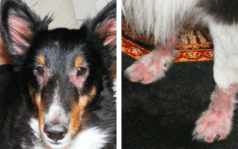 A picture of the dog Godrick missing hair on his face and his feet.