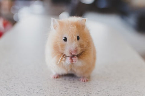 A close up of a golden hamster