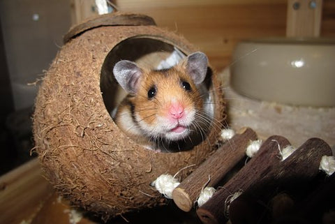 Hamster in  a coconut with a ladder